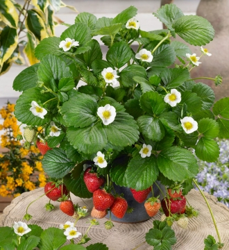 How to grow your own strawberries